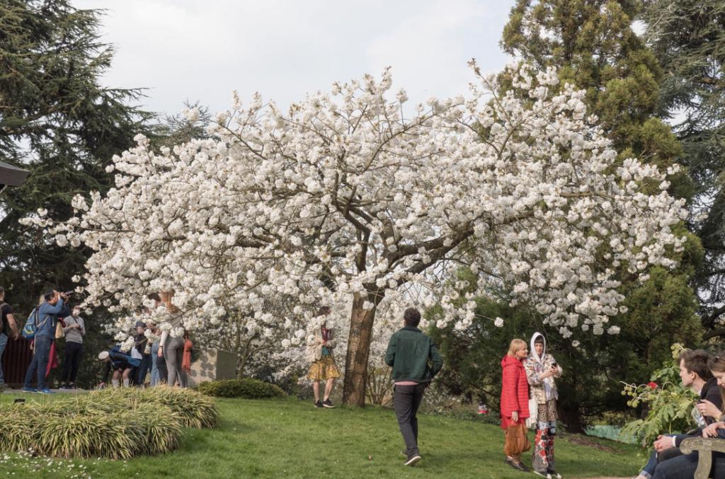 Great White Cherry or Prunus 'Tai Haku' at Kew Gardens