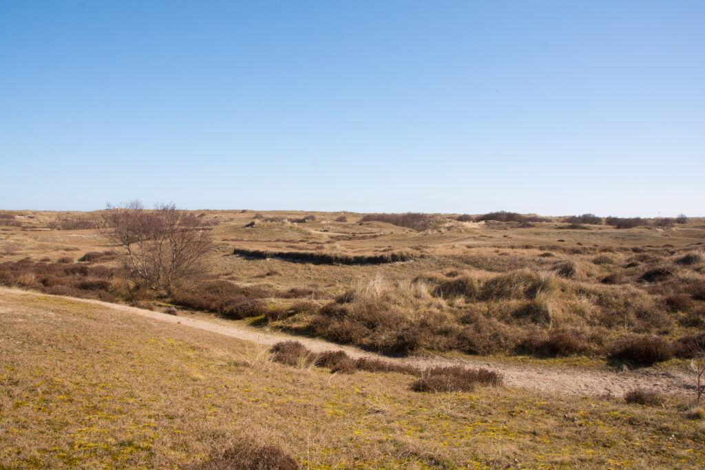 ระหว่างป่าและสันทรายก็เป็นทุ่ง Marram Grass อันสุดลูกหูลูกตา คุณอาจเห็นน้องกระต่ายป่าวิ่งอยู่ไกลๆได้