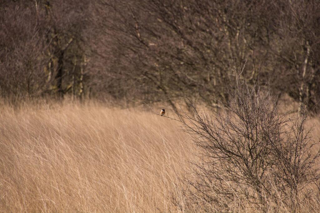 นกยอดหญ้าหัวดำพันธุ์ยุโรป ตัวเล็กๆปุ๊กลุ๊กน่ารัก เกาะอยู่ไกลๆ